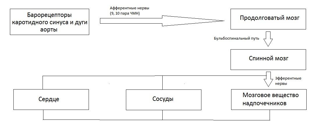 Изображение - Поддержания артериального давления Nervnaya-regulyatsiya-AD