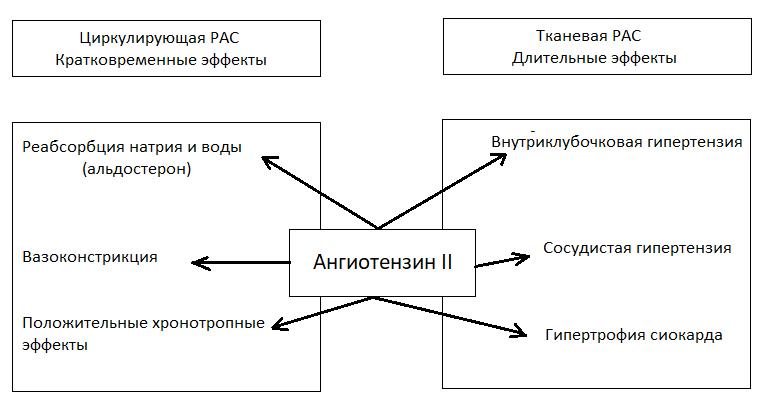Физиологические эффекты циркулирующей и тканевой ренин-ангиотензиновой системы (РАС)